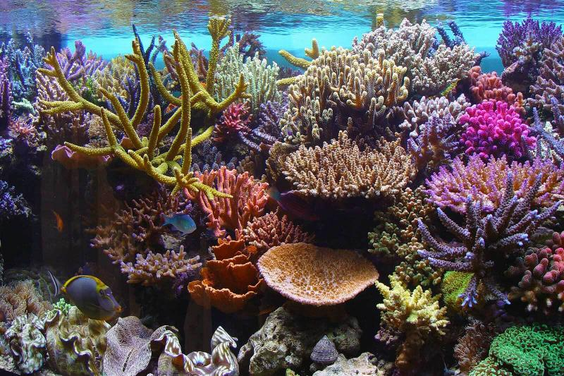 Reef Tank and Corals