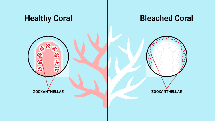 Coral bleaching graphic